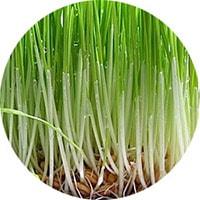 Пророщенная пшеница для повышения гемоглобина