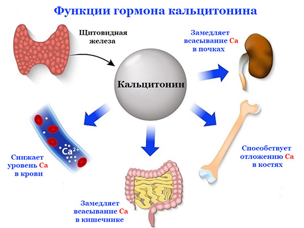 Функции кальцитонина в организме человека