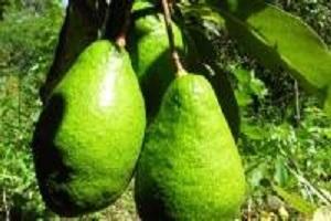 Авокадо польза, вред и калорийность аллигаторовой груши